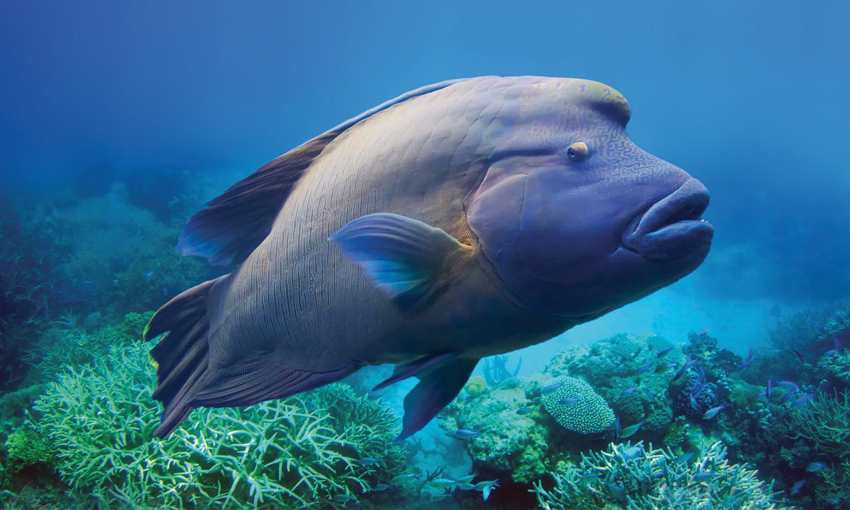Il pesce napoleone ospitato nella vasca indo pacifico for Immagini da colorare di pesci