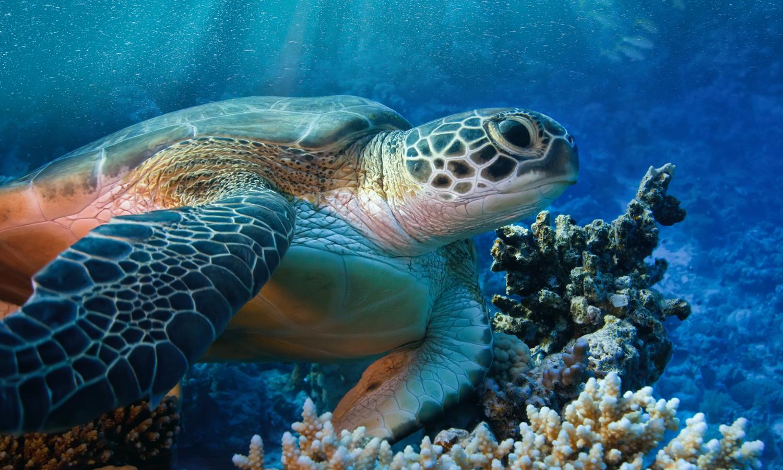 La grande tartaruga verde cuba chelonia mydas ospitata for Vasca per tartarughe grandi